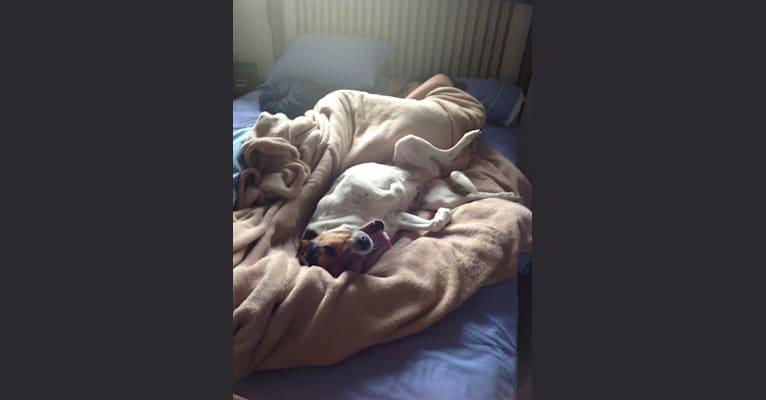 Photo of Maggie, a Beagle, Golden Retriever, Labrador Retriever, and Shetland Sheepdog mix in Charlottesville, Virginia, USA