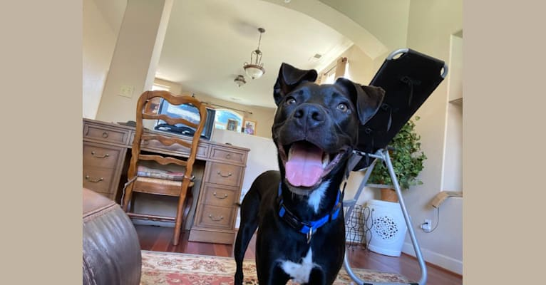 Photo of Bull, an American Pit Bull Terrier, American Staffordshire Terrier, and Siberian Husky mix in Modesto, California, USA