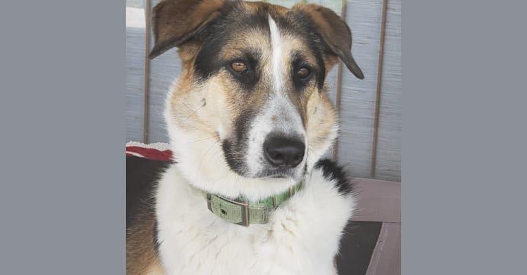 Photo of D'Brickashaw, a German Shepherd Dog, Siberian Husky, and Mixed mix in Arizona, USA