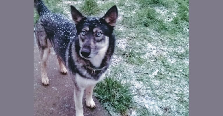 Photo of Basha, a Siberian Husky and German Shepherd Dog mix