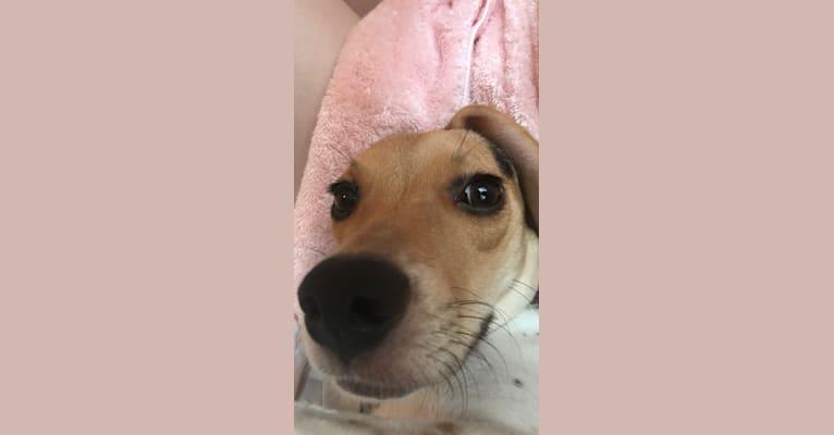 Photo of Rosie, a Beagle and Golden Retriever mix in Richmond, Virginia, USA