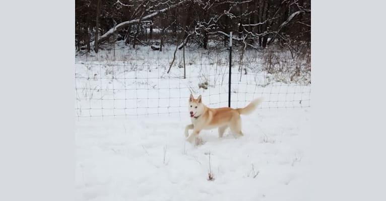 Photo of Kestrel, a Siberian Husky and Shetland Sheepdog mix in Spencer, IN, USA