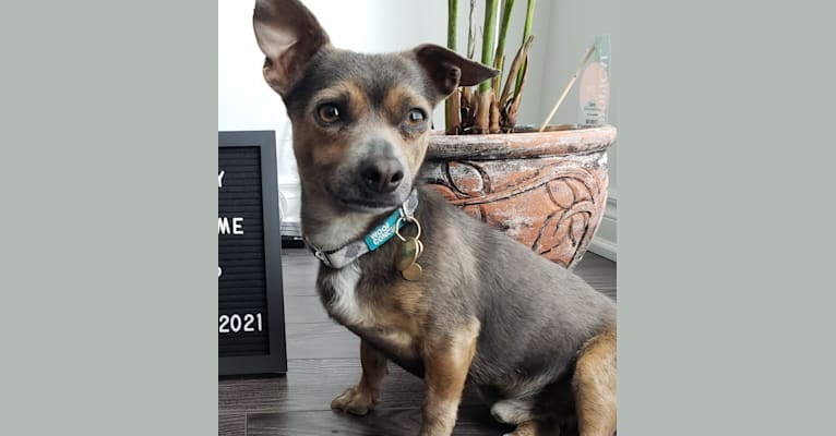 Photo of Louie, a Chihuahua, American Pit Bull Terrier, Poodle (Small), and Mixed mix in Toronto, Ontario, Canada