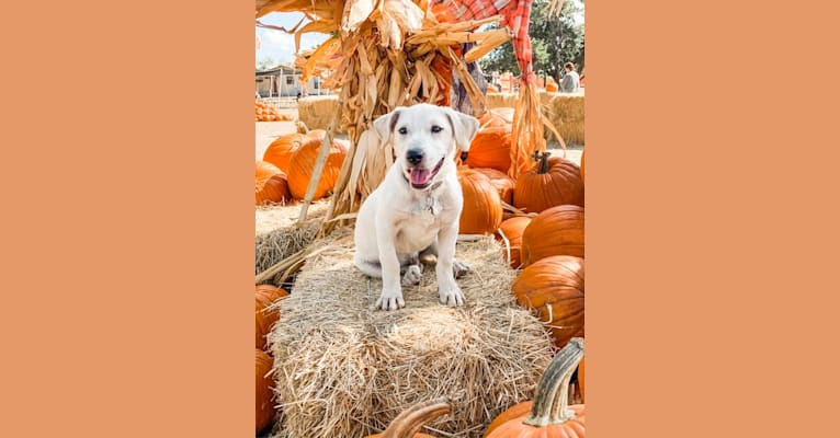 Photo of Bear, an American Pit Bull Terrier, Golden Retriever, Chow Chow, Russell-type Terrier, and Great Pyrenees mix in San Antonio, Texas, USA