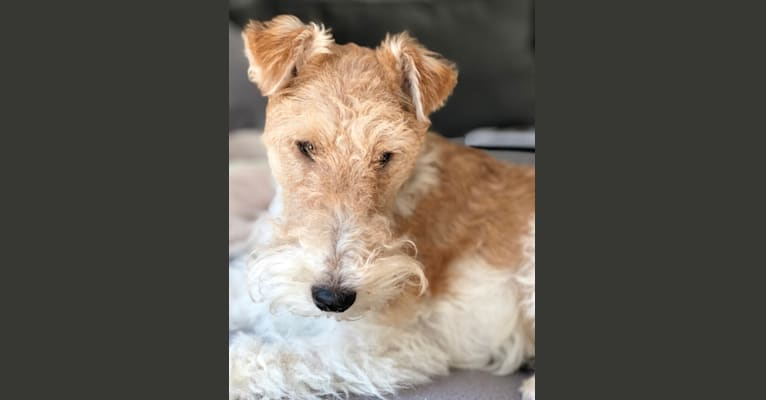 Photo of Rocky, a Wire Fox Terrier  in Indian Creek, Illinois, USA