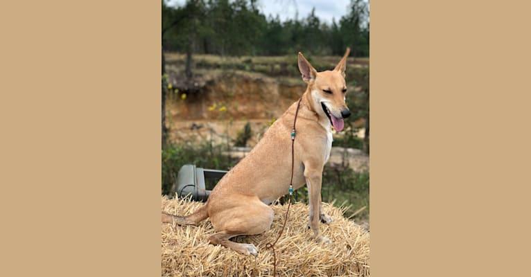 Photo of Mochi, a Carolina Dog  in Aiken, SC, USA