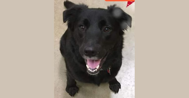Photo of Sirius Lee, an American Pit Bull Terrier, Border Collie, Collie, Labrador Retriever, and Mixed mix in Lake Charles, Louisiana, USA
