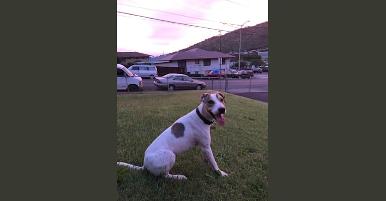 Photo of Benji, an American Pit Bull Terrier, Labrador Retriever, Rottweiler, and Mixed mix in Waianae, Hawaii, USA