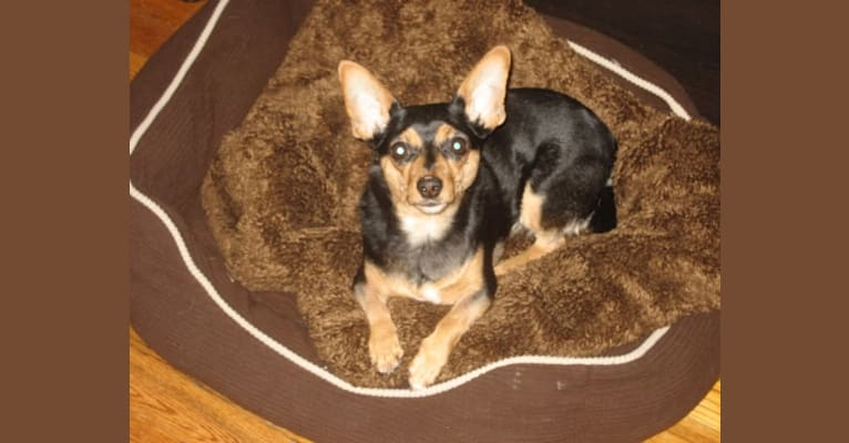 Photo of Ruby, a Miniature Pinscher, Chihuahua, and Maltese mix in Morristown, New Jersey, USA