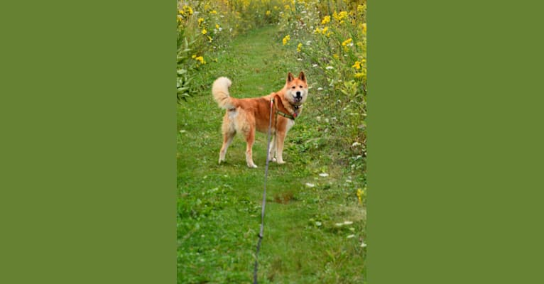 Photo of Kobe, a Siberian Husky and Chow Chow mix in Pewaukee, Wisconsin, USA