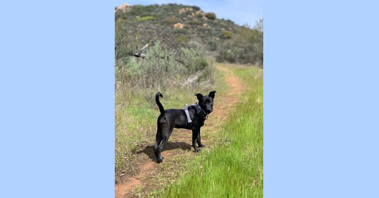 Photo of Briley, an American Pit Bull Terrier, Australian Shepherd, Border Collie, and American Staffordshire Terrier mix in Texas, USA