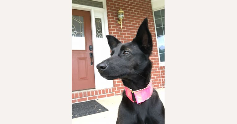 Photo of Pippy, a Boxer, German Shepherd Dog, Greyhound, Rottweiler, and Mixed mix in Parkersburg, WV, USA