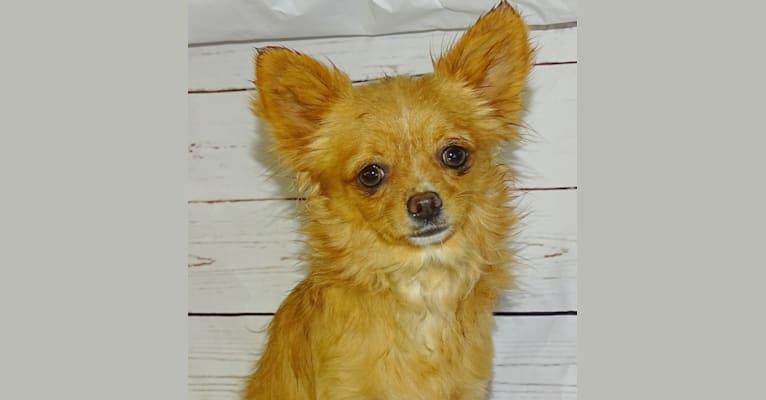 Photo of Rissotto, a Chihuahua