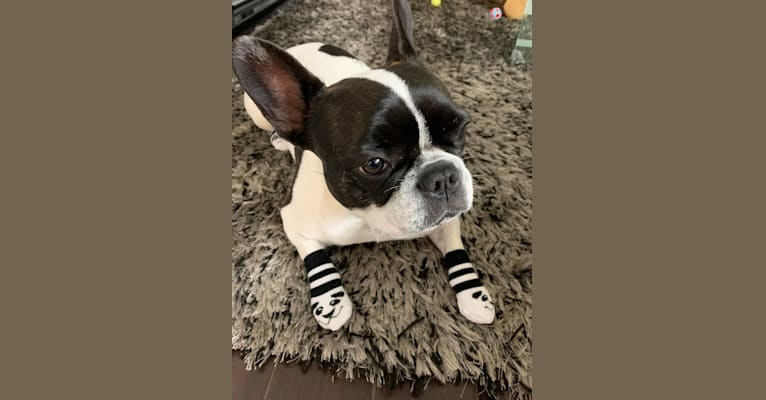 Photo of WILLOW, a French Bulldog  in Ukraine
