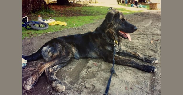 Photo of Gibson, a German Shepherd Dog, Rottweiler, Siberian Husky, and American Staffordshire Terrier mix in Lake County, CA, USA