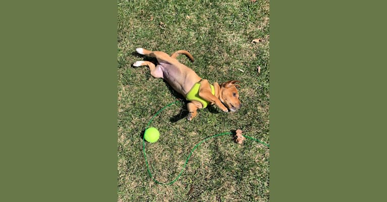 Photo of Chai, a Chihuahua, American Pit Bull Terrier, Miniature Schnauzer, and Mixed mix in Alabama, USA