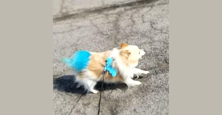 Photo of Miruko, a Pomeranian  in Fort Wayne, Indiana, USA