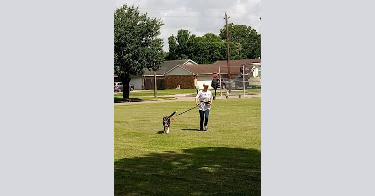 Photo of Ebony, a Labrador Retriever, Siberian Husky, and American Pit Bull Terrier mix in La Porte, Texas, USA