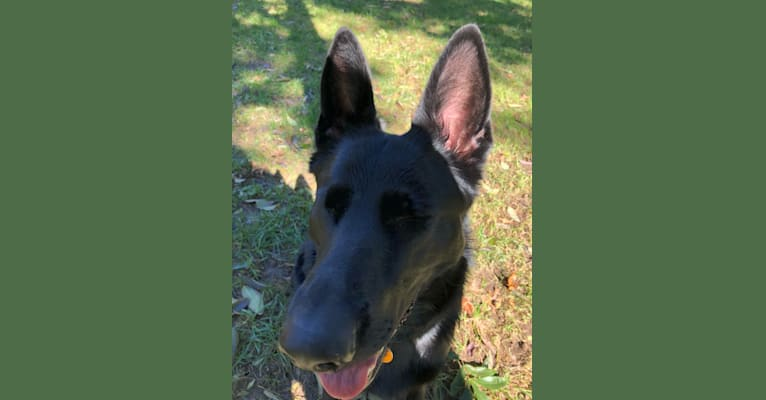 Photo of Ramona, a German Shepherd Dog  in Missouri, USA
