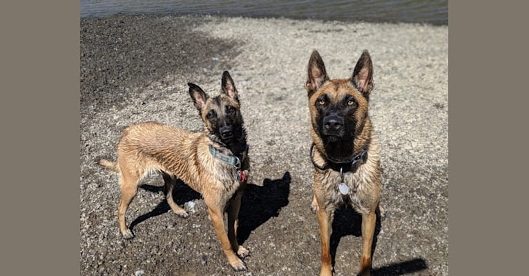 Photo of Kuma, a Belgian Malinois, Dutch Shepherd, and West Siberian Laika mix in South Korea