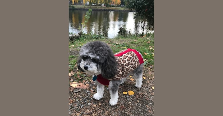 Photo of Holly, a Poodle (Small)  in Seattle, Washington, USA