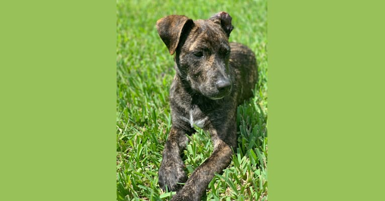 Photo of Ragu, an American Pit Bull Terrier, Siberian Husky, American Staffordshire Terrier, Boxer, and Chow Chow mix in Big Dog Ranch Rescue, Okeechobee Boulevard, Loxahatchee Groves, FL, USA