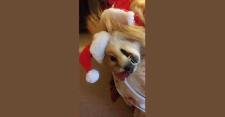 Photo of Skipper, a Pomeranian  in New Jersey, USA