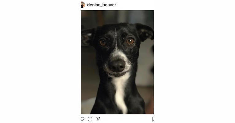 Photo of Izzy, a Chihuahua, American Eskimo Dog, and Mixed mix in North Carolina, USA