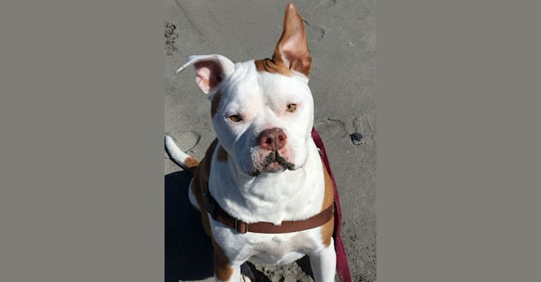 Photo of Howard, an American Pit Bull Terrier and American Bulldog mix