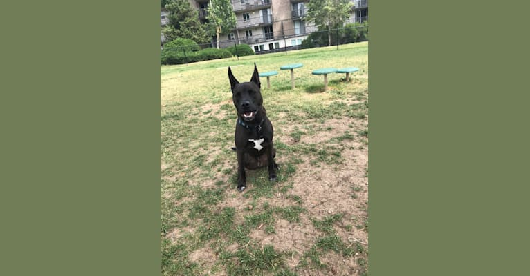 Photo of KoKo Bean, an American Pit Bull Terrier, German Shepherd Dog, Chow Chow, and Mixed mix in Denver, Colorado, USA