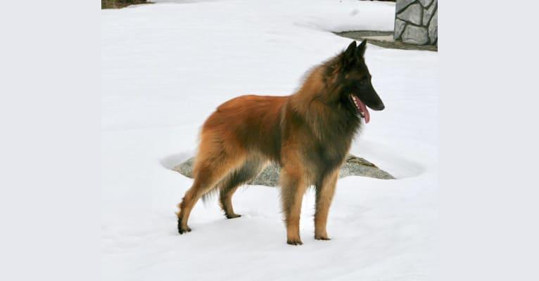 Photo of Dzurath, a Belgian Shepherd  in Whitecourt, AB, Canada