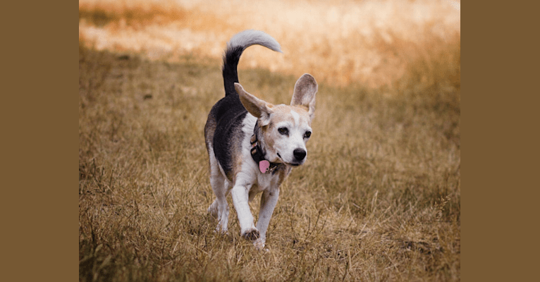 Photo of Roxanne, a Beagle  in Dryad, WA, USA