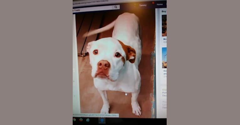 Photo of Daisy Mae, an American Pit Bull Terrier, American Bulldog, Bulldog, and American Staffordshire Terrier mix in Golden Valley, Arizona, USA