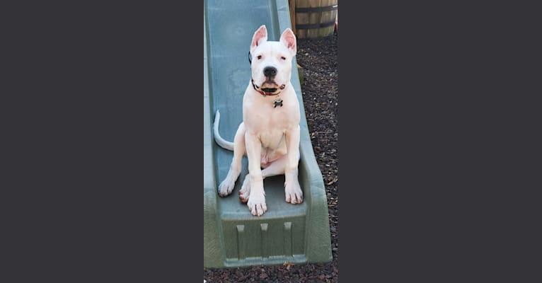 Photo of Dario, a Dogo Argentino  in 1647 253rd Ave NE, Isanti, MN, USA