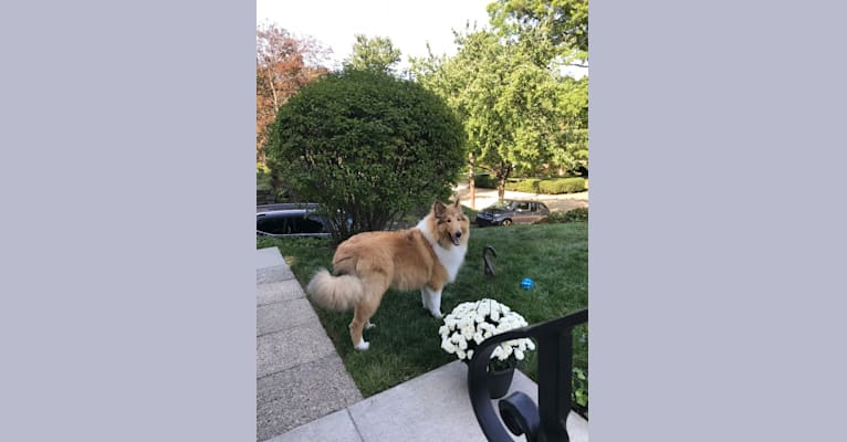 Photo of Laddie, a Collie  in Danville, PA, USA