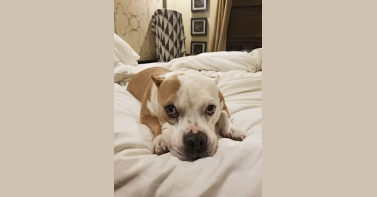 Photo of Fiona, an American Bully  in Mesa, AZ, USA