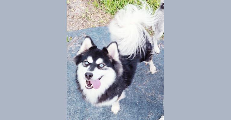 Photo of Onyx, a Pomsky  in Florida, USA
