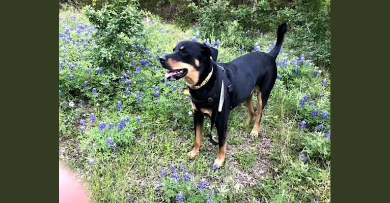 Photo of Dakota, a Rottweiler, Chow Chow, German Shepherd Dog, and Mixed mix in Arlington, Texas, USA