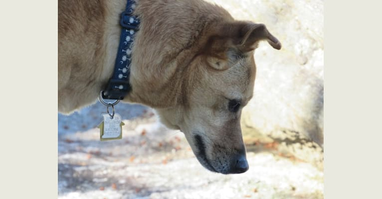 Photo of Tai, a Formosan Mountain Dog mix in Taiwan