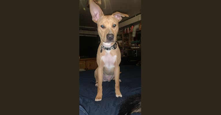 Photo of Rocky, an American Pit Bull Terrier, Boxer, and Labrador Retriever mix