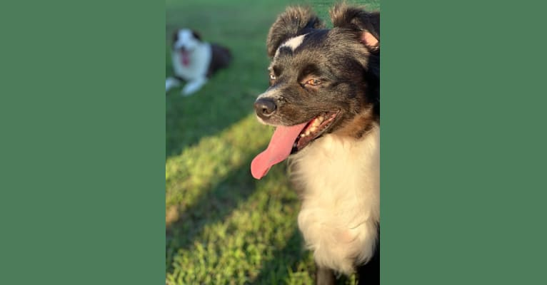 Photo of Brees, a Miniature/MAS-type Australian Shepherd, Australian Cattle Dog, and American Pit Bull Terrier mix in Baton Rouge, Louisiana, USA