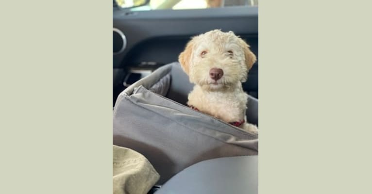 Photo of Alice, a Lagotto Romagnolo  in Holtwood, PA, USA