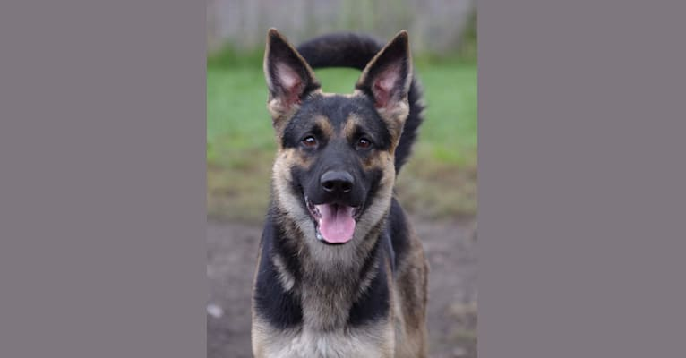 Photo of Shasta, a German Shepherd Dog  in Central City, PA, USA