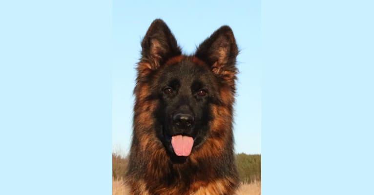 Photo of Olexius Yvie, a German Shepherd Dog  in Sweden