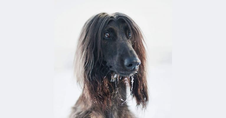 Photo of Khan, an Afghan Hound  in Nokia, Finland
