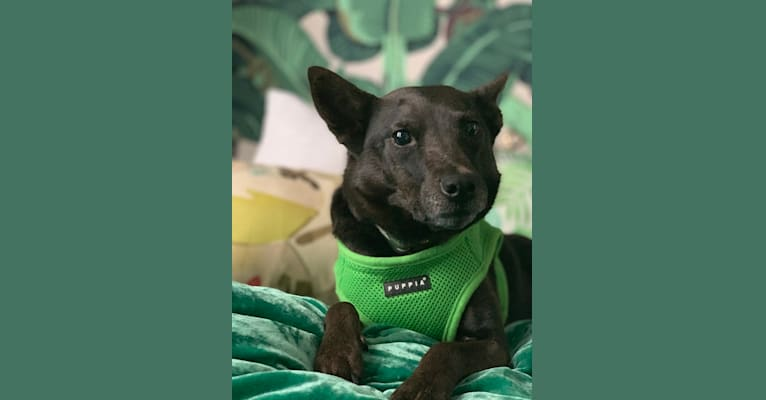 Photo of Lexie, an Australian Cattle Dog, Rottweiler, German Shepherd Dog, Chow Chow, and American Pit Bull Terrier mix in Houston, Texas, USA