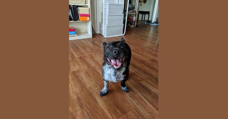 Photo of Bella, a Poodle (Small), American Bully, American Pit Bull Terrier, American Staffordshire Terrier, Shih Tzu, and Mixed mix in Los Angeles, California, USA