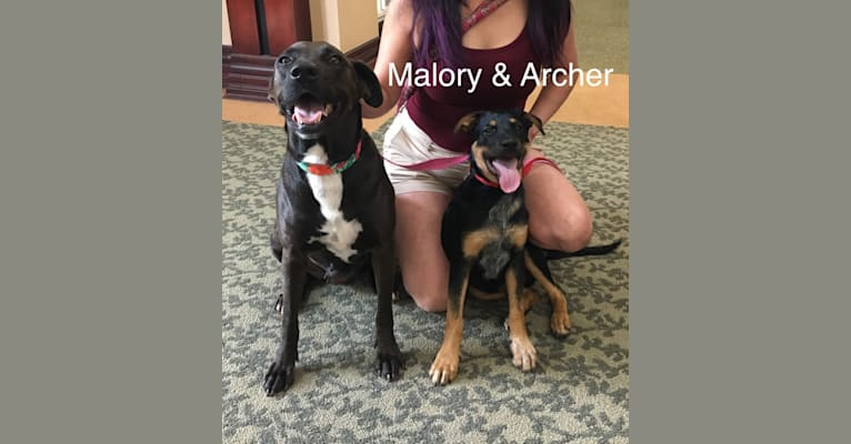 "Photo of Sterling Malory ""Archer"", an Australian Cattle Dog, American Pit Bull Terrier, German Shepherd Dog, and Mixed mix in Arkansas, USA"