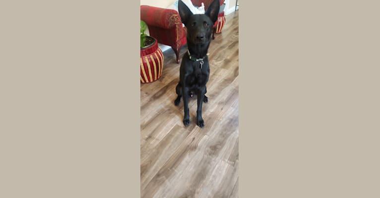 Photo of Loki, a Belgian Malinois, German Shepherd Dog, and Siberian Husky mix in Idyllwild-Pine Cove, California, USA