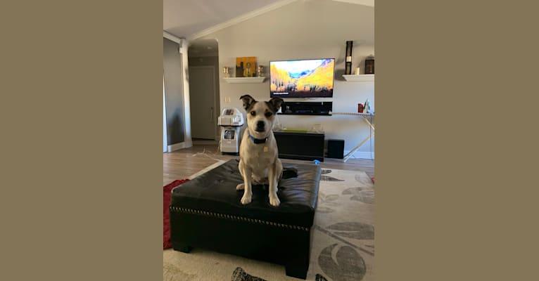 Photo of Harper, a Bulldog and Siberian Husky mix in Amarillo, Texas, USA